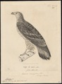 Haliaeëtus macei - 1700-1880 - Print - Iconographia Zoologica - Special Collections University of Amsterdam - UBA01 IZ18100329.tif