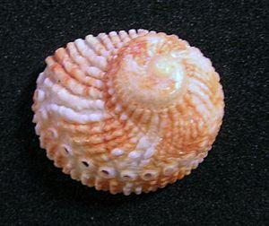 Haliotis pulcherrima - View of a shell of Haliotis pulcherrima