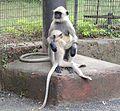 Hanuman langurs.jpg