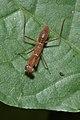 Hapalopeza nilgirica-Kadavoor-2016-04-09-002.jpg