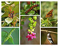 Harlequin Butterfly Life Cycle Mariposa arlequín (5840511508).jpg