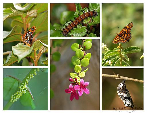 Harlequin Butterfly Life Cycle Mariposa arlequín (5840511508)