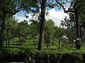 Harrison Malayalam Tea Garden Munnar 6113.JPG