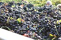 Harvested wine grapes and MOG.jpg