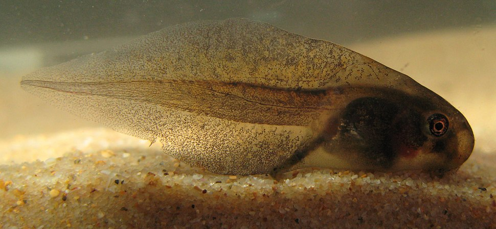 Haswell%27s Frog - Paracrinia haswelli tadpole