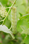 Hawk moth caterpillar02.jpg