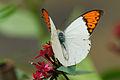 Hebomoia glaucippe formosana male back 20121201.jpg