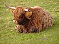 Heelan Coo - South Ferriby - geograph.org.uk - 555263.jpg