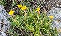 Helianthemum italicum var. alpestre at Col de Coux (1).jpg