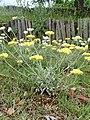 Helichrysum orientale kz06.jpg