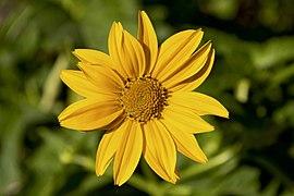 Heliopsis helianthoides flower.jpg