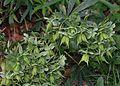 Helleborus viridis - Flickr - S. Rae.jpg