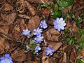 Hepatica nobilis005.jpg