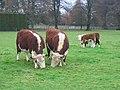 Herefords, The Park, Ashford Carbonel. - geograph.org.uk - 91256.jpg