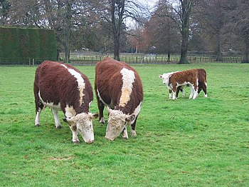 English: Herefords, The Park, Ashford Carbonel...