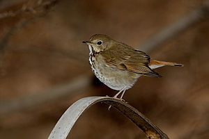 English: Hermit thrush