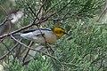 Hermit Warbler (immature) Huachuca Canyon Sierra Vista AZ 2018-08-25 09-17-36 (48038365007).jpg