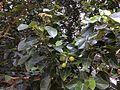 Hernandia nymphaeifolia flowers Beqa Fiji 3.jpg