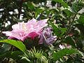 HibiscusSyriacus6.jpg