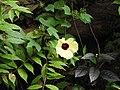 Hibiscus hispidissimus-2-thenmalai-kerala-India.jpg
