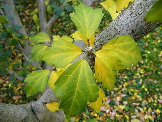 Hibiscus syriacus - Leaves