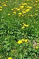 Hieracium lachenalii Common Hawkweed ჩვეულებრივი ხარნუყა.JPG