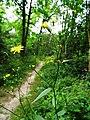 Hieracium laevigatum inflorescence (09).jpg
