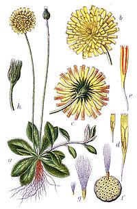 Hieracium pilosella Sturm56