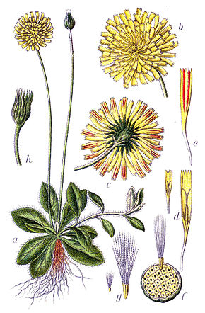 Description de l'image Hieracium pilosella Sturm56.jpg.