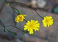 Hieracium venosum flowers buds.jpg