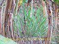 Hierba limón(Cymbopogon citratus) Planta originaria del Sudeste Asiático.jpg
