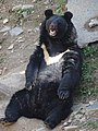 Himalayan Black Bear in Zoo - Near Shimla - Himachal Pradesh - India (26304232860).jpg