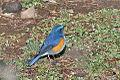 Himalayan Bluetail, Jakar, India.jpg
