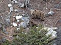 Himalayan Brown Bear With Cubs.JPG