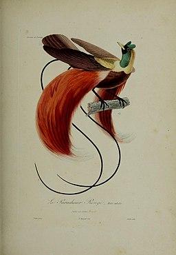 Histoire naturelle des oiseaux de paradis et des épimaques (19242402564)