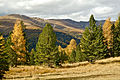 Hochrindl Larix decidua Pinus cembra 21102013 169.jpg