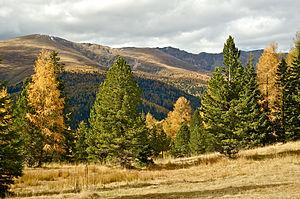 אורן מהמין Pinus cembra (משמאל) ואשוחית נורווגית (מימין)