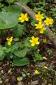 Hoher Vogelsberg Schotten SCI 555520798 Caltha palustris.png