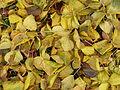 Hojas de manzano en otoño.JPG