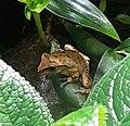 Hong Kong Whipping Frog (Polypedates megacephalus).jpg