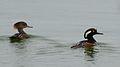 Hooded Merganser (Male and Female) (33790888136).jpg