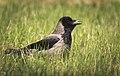 Hooded crow (34671065363).jpg