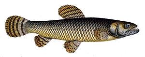 Mesocosm - A Hoplias malabaricus fish.