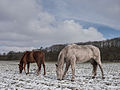 Horses in the winter.jpg