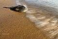 Horseshoe Crab Returning To Sea After Spawning Per (111773087).jpeg