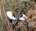 Horseshoe Whipsnake. Coluber hippocretis - Flickr - gailhampshire.jpg