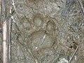 Huella puma en el Parque Nacional del Manu (Perú).jpg