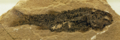Hulettia Fossil, from NewMexicoMuseum cropped.png