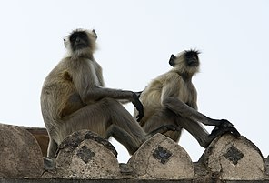 Human Langur monkeys, Orchha, India.jpg