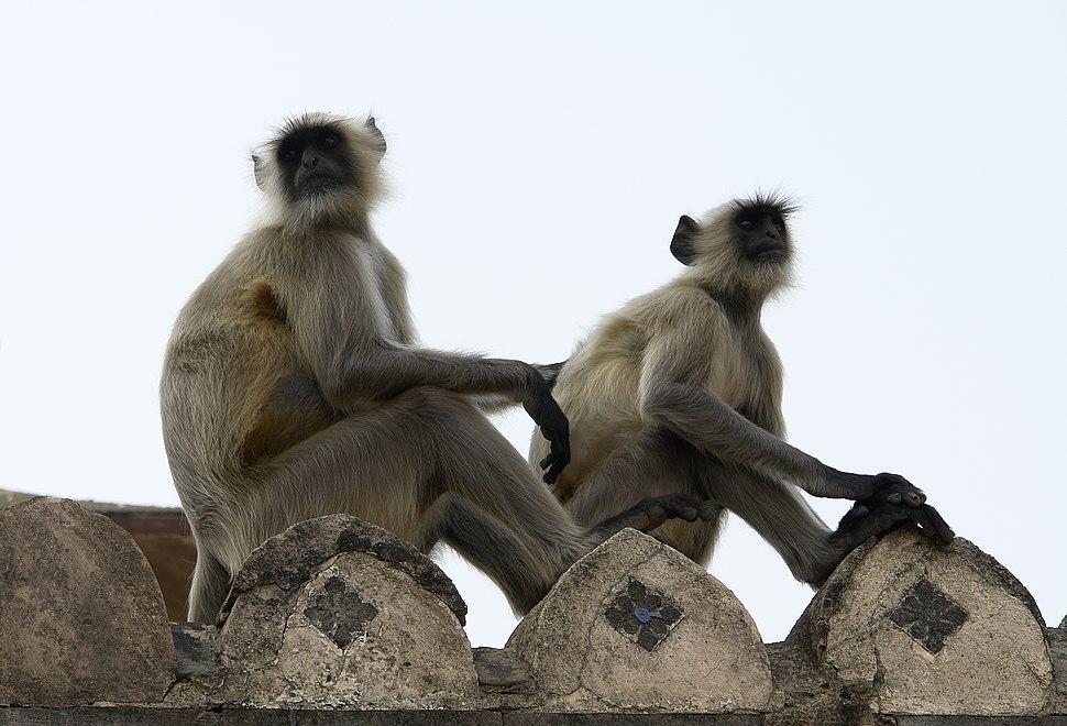 Human Langur monkeys, Orchha, India